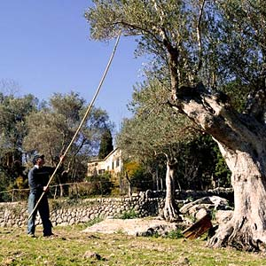 harvesting olives by hand